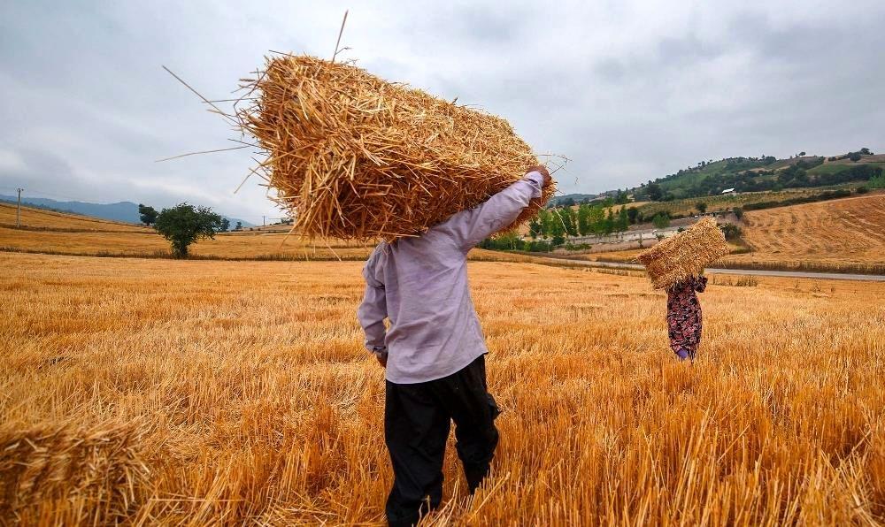 جولان دلالان در بازار خرید گندم/چرا کشاورزان گندم به دولت تحویل نمی دهند؟