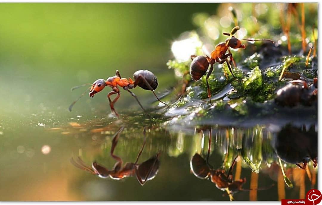 مورچهها چطور با یکدیگر ارتباط برقرار میکنند؟!