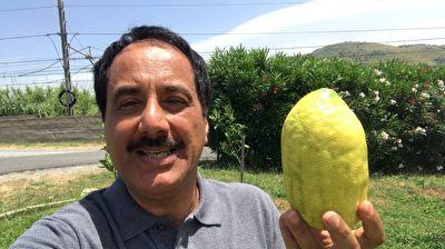 گزارش موبایلی معصومینژاد درباره میوه بالنگ + فیلم