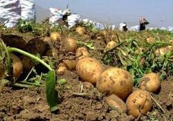 صادرات متهم اصلی گرانی سیب زمینی/ نوسان قیمت سیب زمینی تا پایان مرداد ادامه دارد