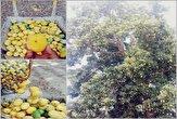 حال و احوالی از باغداران انبه در یکی از روزهای گرم تابستان/سودی برای دلالان نه برای کشاورزان