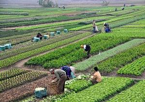 بازدید معاون باغبانی وزیر جهاد کشاورزی از طرح تعویض تاج درختان گردو در آذربایجان شرقی