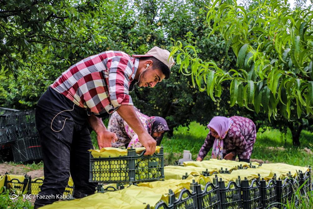 برداشت آلو از باغات غرب استان گلستان