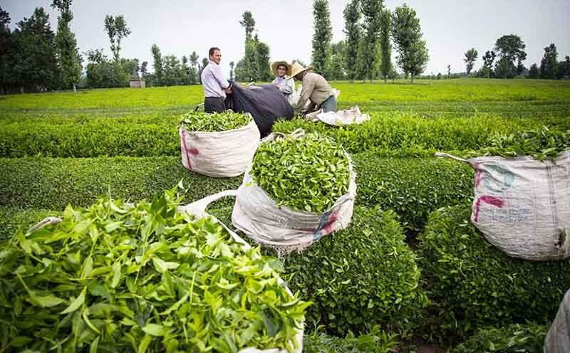 ۳۲ میلیارد تومان از مطالبات چایکاران گیلان و مازندران پرداخت شد/مجموع مطالبات چایکاران از محل فروش برگ سبز چای  ۲۰۱ میلیارد تومان است