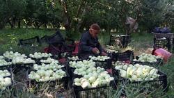 برداشت سیب گلاب در روستای تکه + فیلم
