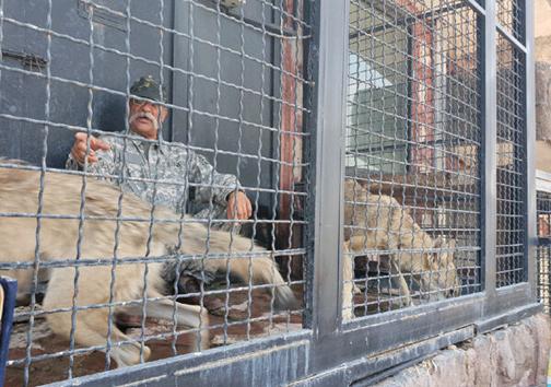 حادثه در قفس شیرها در دهکده طبیعت به خیر گذشت