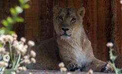 حمله شیر به مسئول دهکده طبیعت قزوین +فیلم
