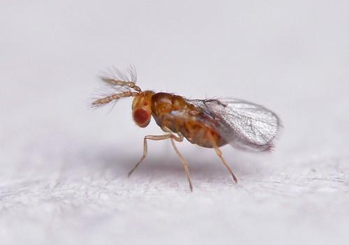 تریکوگراما، زنبوری که فرشته نجات محصولات کشاورزی شده است + فیلم