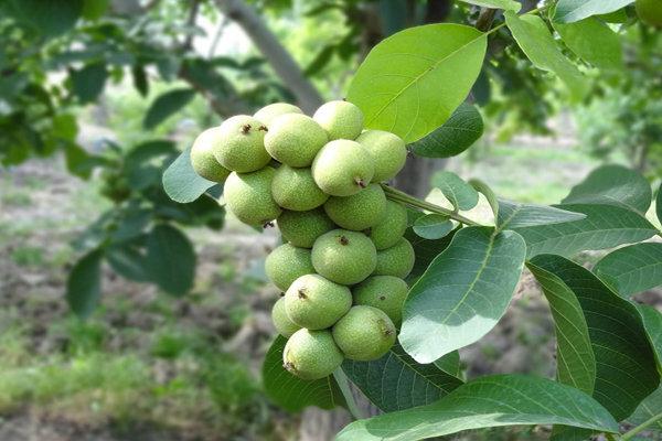 لزوم تهیه تغذیه درختان گردو متناسب با اقلیم/ قرنطینه داخلی برای مبارزه با کرم خراط گردو ضروری است