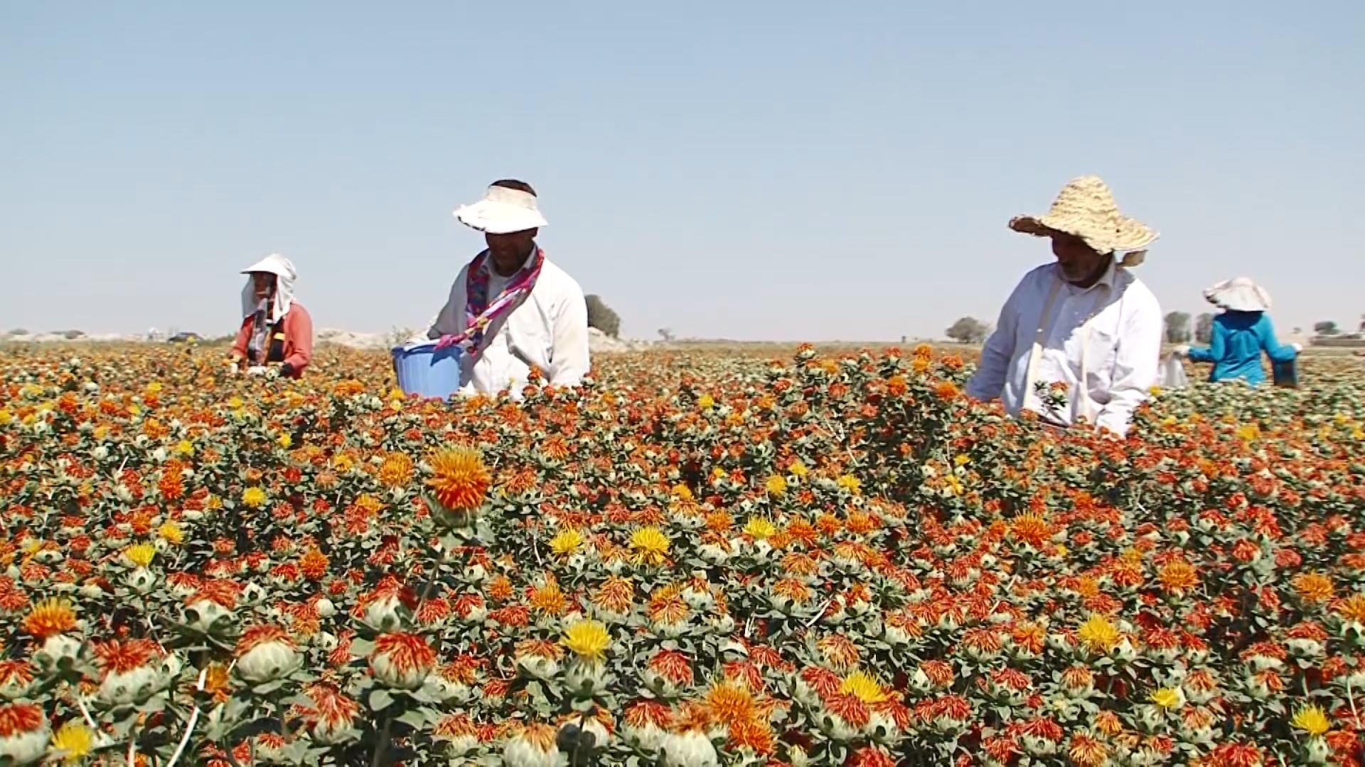 برداشت گلرنگ از ۱۸ هکتار مزارع بخش گلباف تا پایان تیرامسال ادامه دارد
