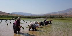 نشای برنج در شالیزارهای طارم زنجان آغازشد