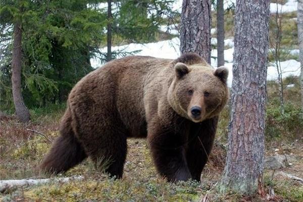 حمله خرس وحشی به چوپان ناشنوا