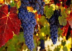 برداشت بیش از ۲۵۰ هزار تن انگور در ملایر