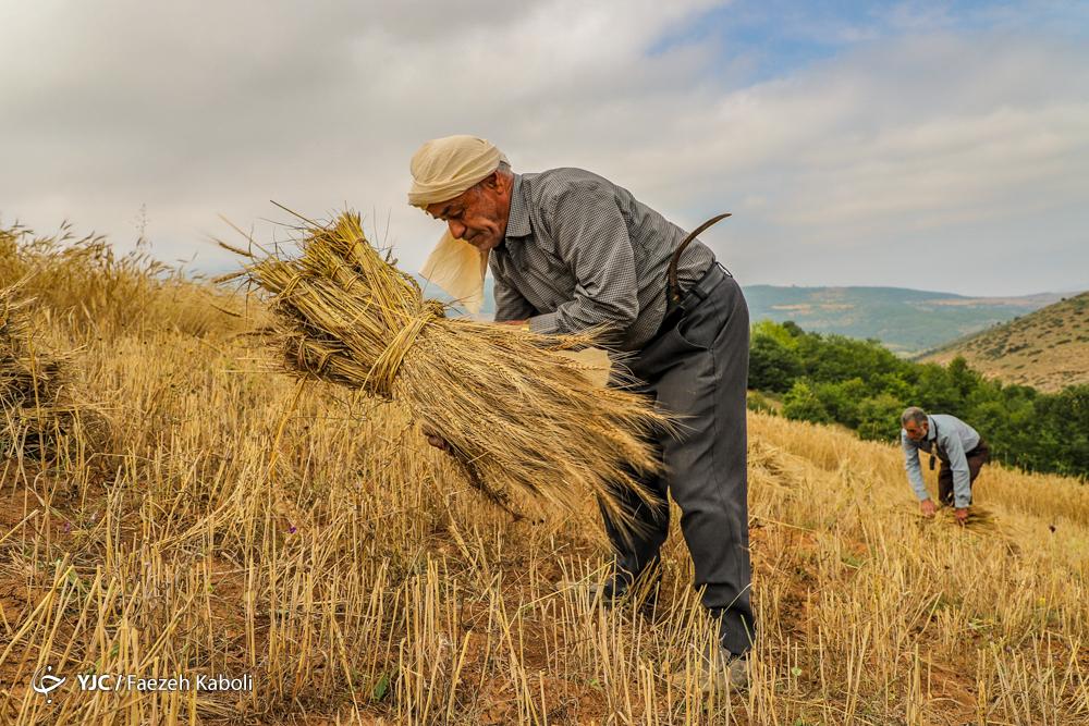برداشت سنتی گندم