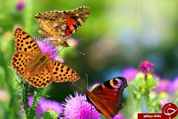 پروانهها چطور میتوانند طعم چیزها را حس کنند؟