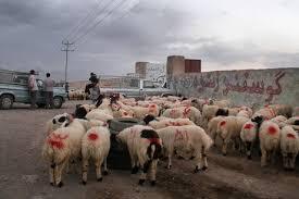 کشف ۱۲۰ رأس دام قاچاق در کرمان