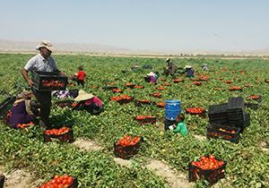 افزایش ۵۰ درصدی کشت گوجه فرنگی در مرودشت