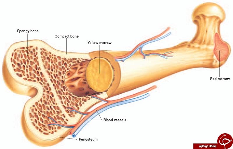 مغز استخوان چیست و چند نوع دارد؟