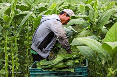 تولید سیگار در نیکاراگوئه