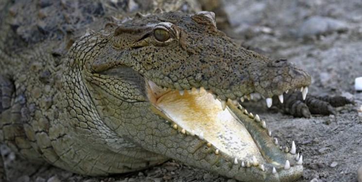 ۱۵ سر تمساح بزرگ جثه در حوضچه سد پیشین گرفتار شدند
