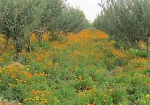 رونق کشت گیاهان دارویی در اردبیل؛ متقاضیان تسهیلات بلاعوض دریافت می کنند