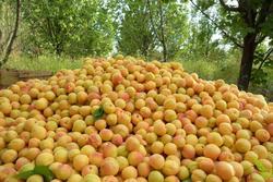 پیش بینی برداشت ۳۳۰ هزار تن میوه از باغات کردستان