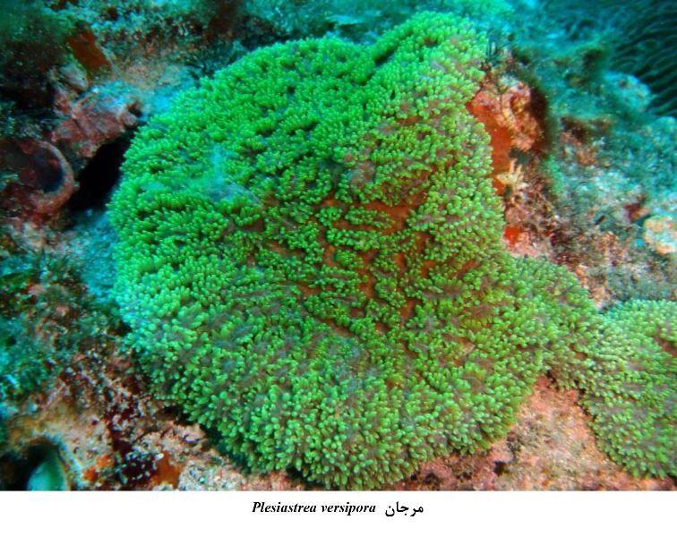 مشاهده گونه نادری از آبسنگ های مرجانی سخت در سمباران
