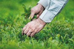 چین سوم برگهای سبز چای در گیلان و مازندران آغاز شد