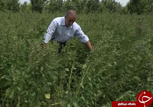 کشت خاویار گیاهی برای اولین بار در گلستان