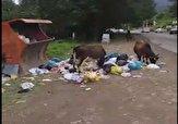 باشگاه خبرنگاران -وقتی زباله در «طاسکوه» تغذیه دام میشود + فیلم