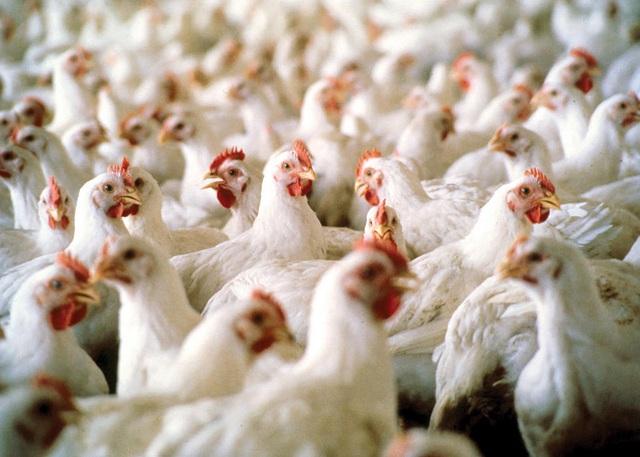 جلوگیری از خروج ۱۰۰ تن مرغ زنده از استان