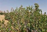 باشگاه خبرنگاران -خشکسالی درختان انجیر در «استهبان» + فیلم