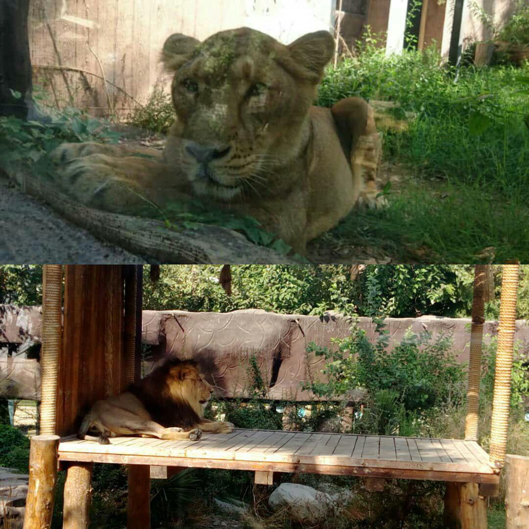 بله برون دو شیر ایرانی در باغ وحش ارم