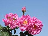 نمایشگاه گل و گیاه در استان کرمانشاه افتتاح شد