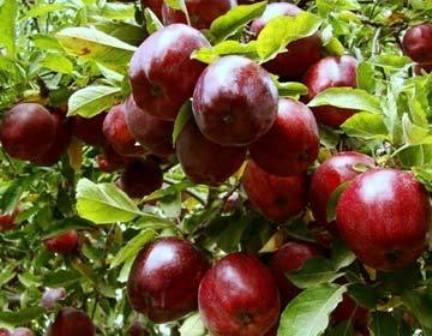 برداشت ۱۲ هزار تن سیب تابستانه از باغهای مراغه