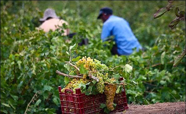 برداشت بیش از ۴۰۰ هزار تن انگور در استان همدان