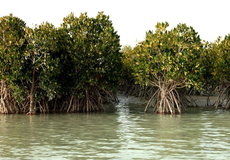 توسعه جنگلهای مانگرو هرمزگان با کاشت ۶۰۵ هزار اصله نهال