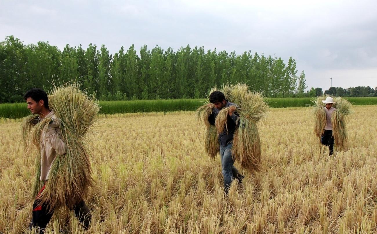 شرایط جوی مساعد برای برداشت برنج تا اوائل هفته آینده
