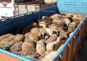 کشف گوسفند قاچاق در همدان
