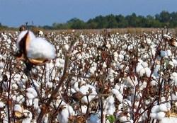 واردات چمدانی و رسمی پوشاک، تولید طلای سفید را به ورطه نابودی کشاند/ تامین ۷۰ درصد پنبه داخل از طریق واردات