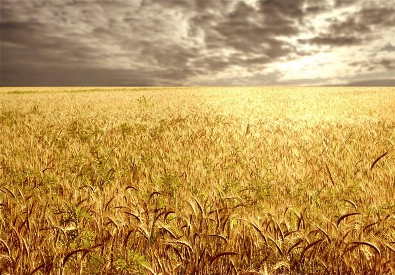 خروج ۲ میلیون تن گندم از چرخه خرید تضمینی/ زمزمههای واردات گندم به گوش میرسد