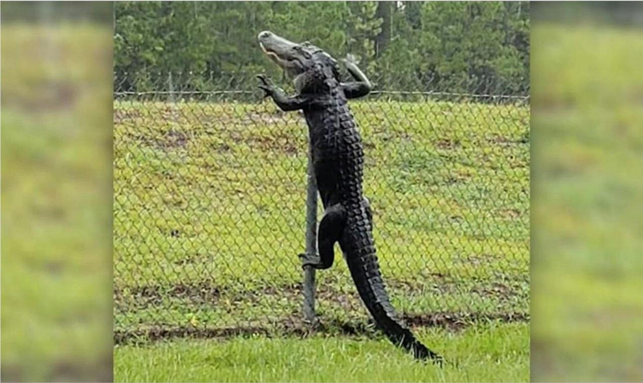 ورود تمساح به پایگاه نظامی آمریکا در فلوریدا