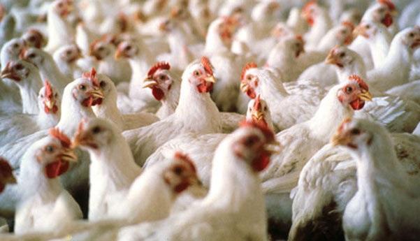 ثبات نرخ مرغ در بازار بی رغبتی مرغداران به جوجه ریزی بر افت قیمت جوجه یک روزه دامن زد