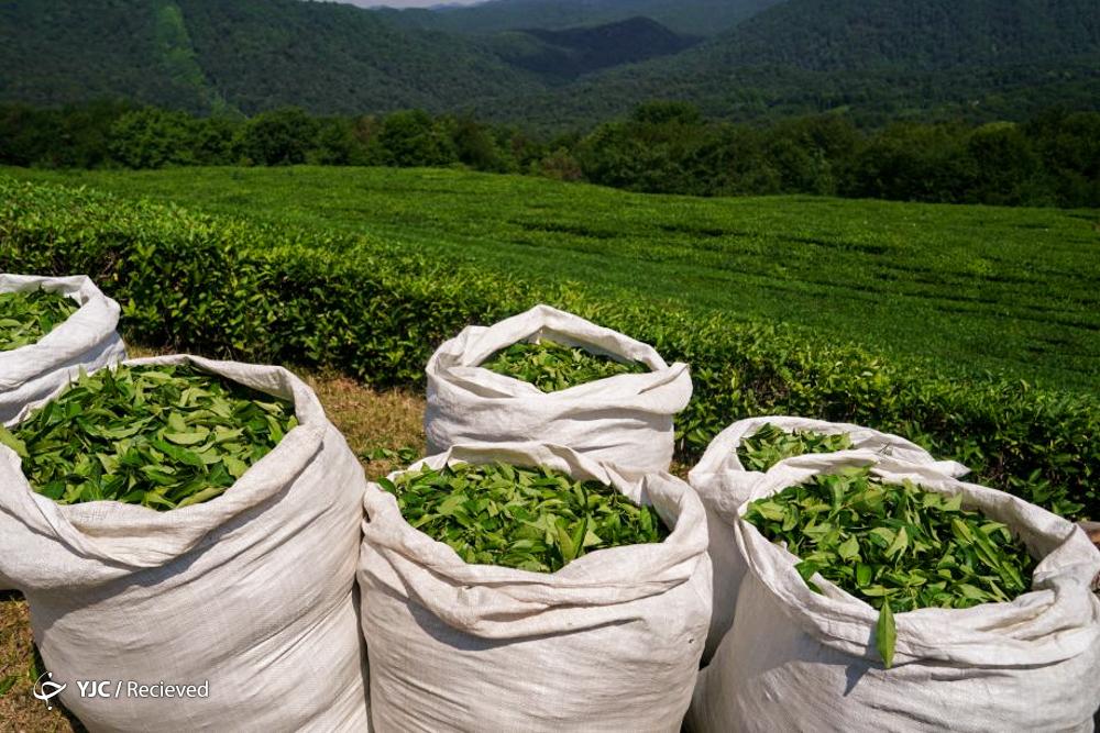 خرید برگ سبز چای از ۹۸ هزار تن گذشت / رشد ۱۵ درصدی تولید برگ سبز چای