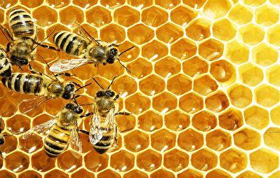 تولید ۵۰ کیلوگرم عسل در زیر سقف یک خانه + فیلم