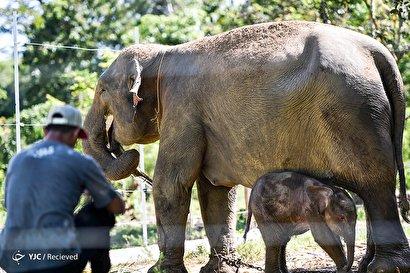 تولد فیل سوماترایی در اندونزی