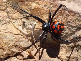 مردم سیستان مراقب گزش عنکبوت سمی باشند