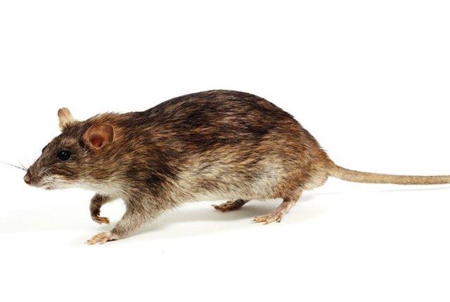 چرا موش های شهری افزایش پیدا کرده اند؟ + روش های مقابله