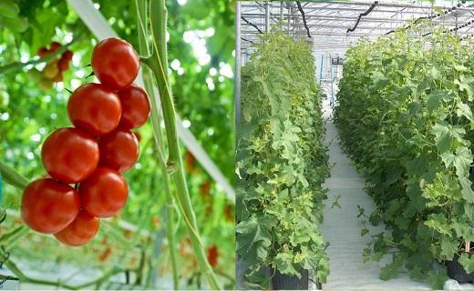 استقبال چشمگیر کشاورزان یزدی از اجرای طرح نوین آبیاری /استان یزد نخستین تولیدکننده محصولات گلخانهای در کشور