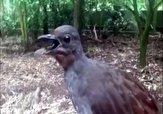 باشگاه خبرنگاران -پرندهای با توانایی تقلید انواع صدا + فیلم